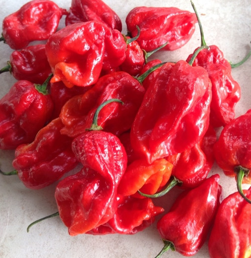 Carboruga Red Hybrid Chilli Image by CHILLIESontheWEB