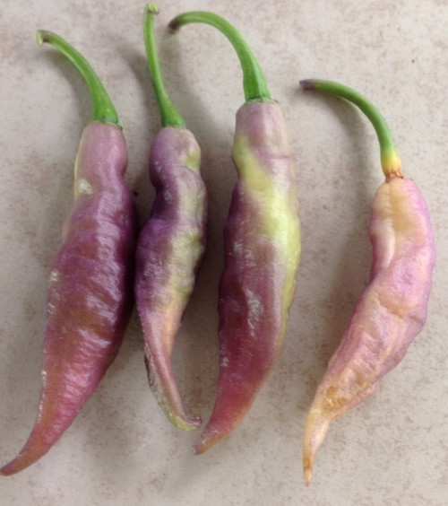 Clavo Peach x Pink Tiger Hybrid Chilli Image by CHILLIESontheWEB