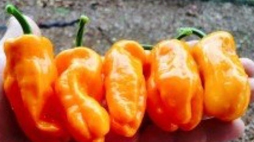 Scotch Bonnet x Sweet Bell Pepper Hybrid Chilli Seeds Image by CHILLIESontheWEB
