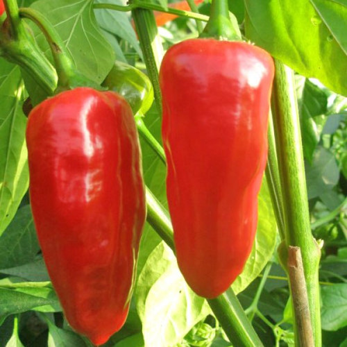 Mojo Red Chilli Seeds Image by CHILLIESontheWEB
