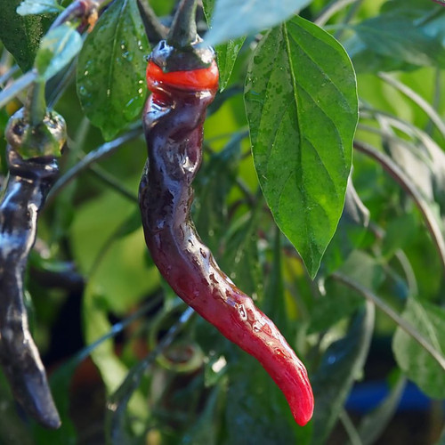 Thai TQ Black Chilli Seeds Image by CHILLIESontheWEB