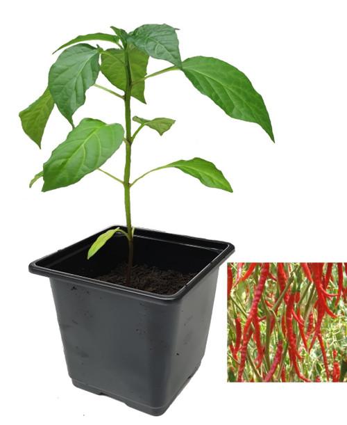 Cayenne Long Slim Chilli Plant Image by CHILLIESontheWEB
