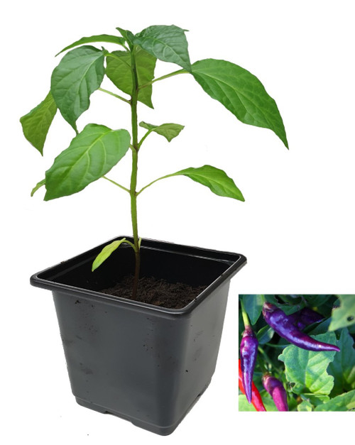 Cayenne Purple Chilli Plant Image by CHILLIESontheWEB