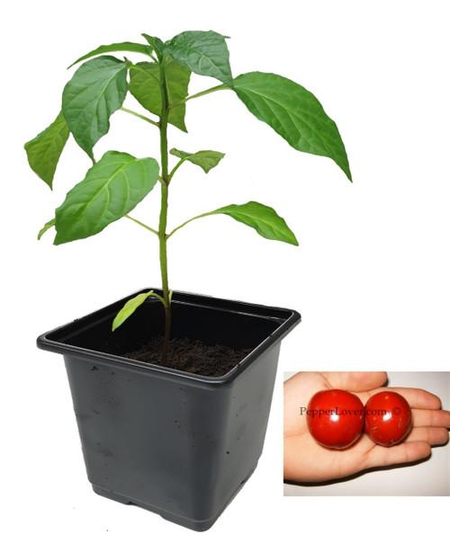 Cumra Cherry Large Chilli Plant Image by CHILLIESontheWEB