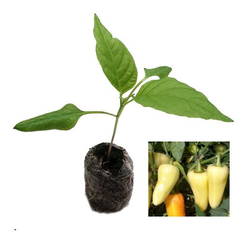 Caloro Chilli Plant Image by CHILLIESontheWEB
