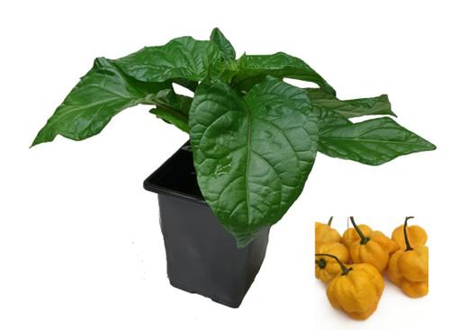 7 Pot Yellow 9cm Chilli Plant Image by CHILLIESontheWEB