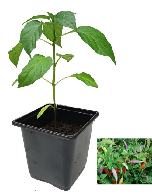 Aji Omnicolour 9cm Chilli Plants Image by CHILLIESontheWEB