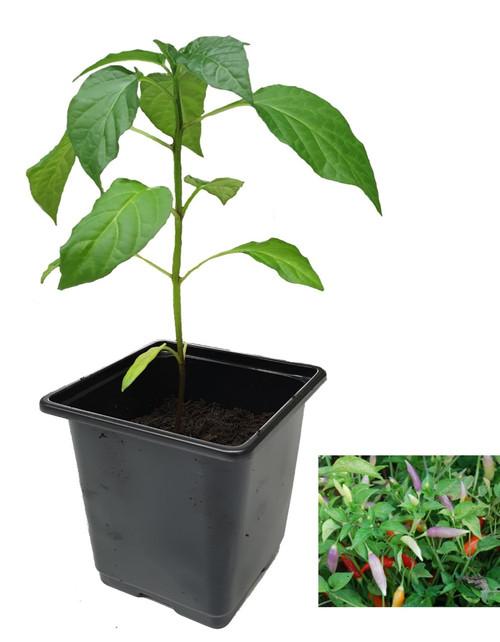 Aji Omnicolour 9cm Chilli Plants Image by CHILLIESontheWEB