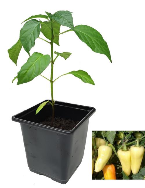 Caloro 9cm Chilli Plants Image by CHILLIESontheWEB
