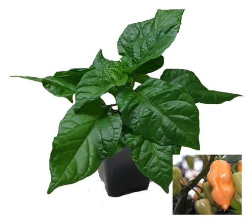 Habanero Peach 9cm Chilli Plant Image by CHILLIESontheWEB