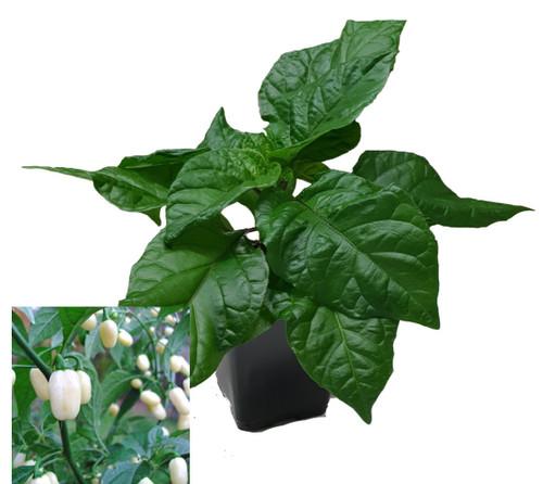 Habanero White 9cm Chilli Plant Image by CHILLIESontheWEB