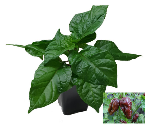 Naga Chocolate  - Ghost Pepper Chilli Plant Image by CHILLIESontheWEB