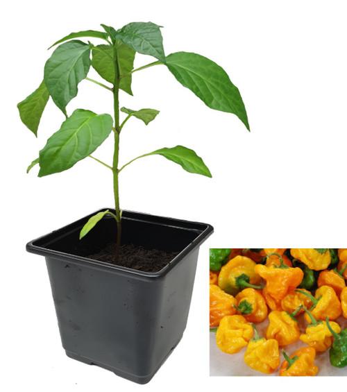Jamaican Yellow Chilli Plant Image by CHILLIESontheWEB
