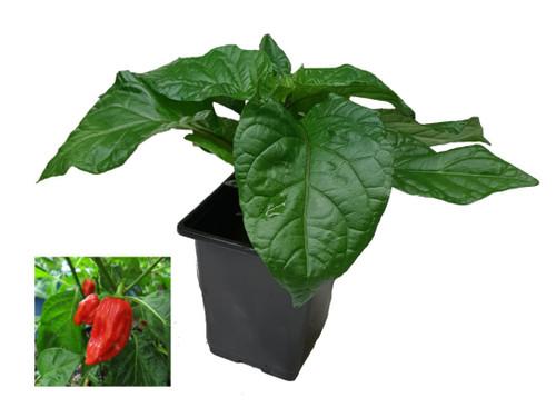 Habanero Maya Chilli Plant Image by CHILIESontheWEB
