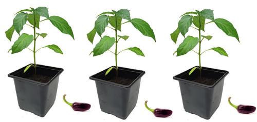 Jalapeno Purple Chilli Plant Image by CHILLIESontheWEB