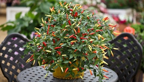 Basket of Fire Chilli Seeds Image by CHILLIESontheWEB