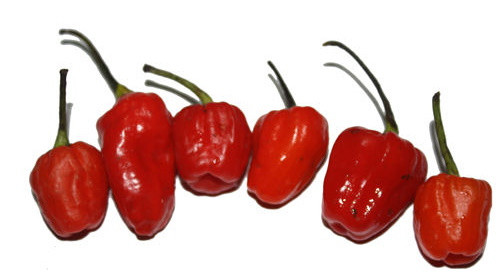 Phiringi Jolokia Chilli Seeds Image by CHILLIESontheWEB