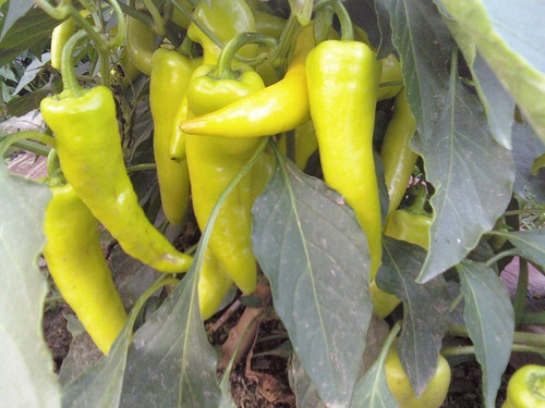 Banana Pepper - Hungarian Sweet Wax Chilli Seeds Image by Chillies on the Web