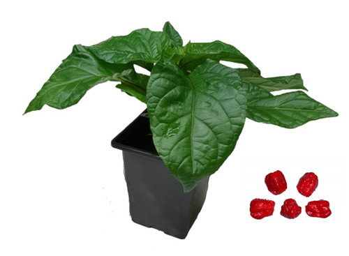 7 Pot Red 9cm Chilli Plant Image by CHILLIESontheWEB