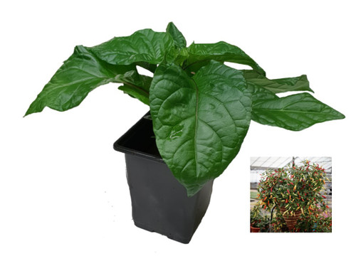 Basket of Fire 9cm Chilli Plant Image by CHILLIESontheWEB