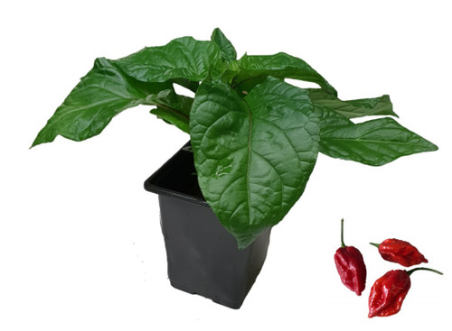 Naga Viper Chilli Plant Image by CHILLIESontheWEB
