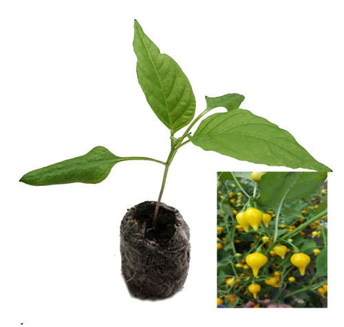 Biquinho Yellow Chilli Plant Image by CHILLILESontheWEB