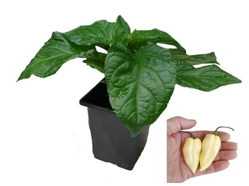 Naga White 9cm Chilli Plant Image by CHILLIESontheWEB