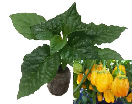 7 Pot Bubblegum Yellow Chilli Seedling Plant Image by CHILLIESontheWEB