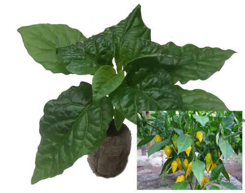 Habanero Limon Chilli Plant Image by CHILLIESontheWEB