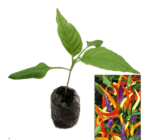 Eureka Chilli Seedling Plant Image by CHILLIESontheWEB