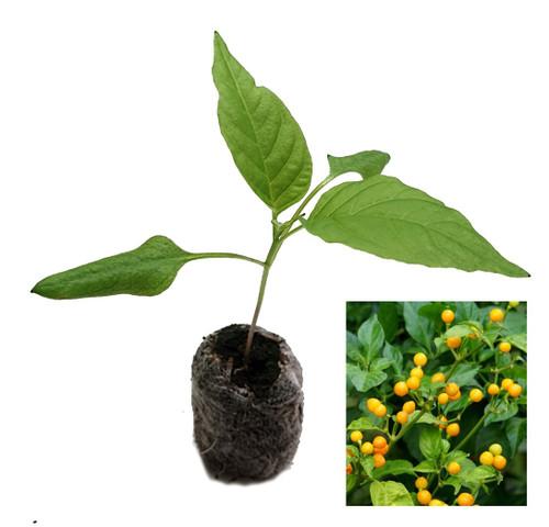 Aji Charapita Chilli Seedling Plant Image by CHILLIESontheWEB