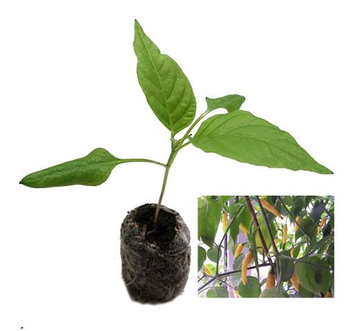 Aji Lemon Chilli Seedling Plant Image by CHILLIESontheWEB