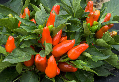 Tangerine Dream Sweet Pepper Image by CHILLIESontheWEB