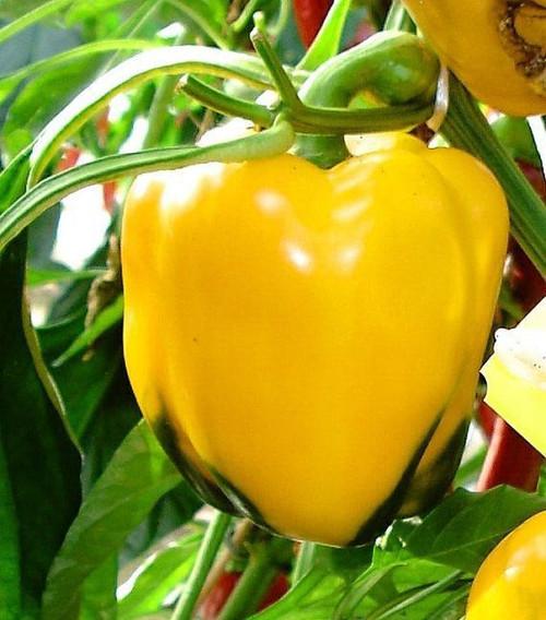 Asti Yellow Sweet Pepper Image by CHILLIESontheWEB