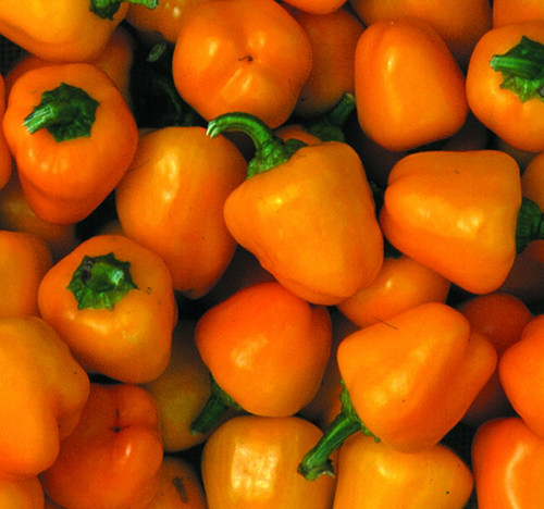 Mini Bell Yellow Sweet Pepper Image by CHILLIESontheWEB