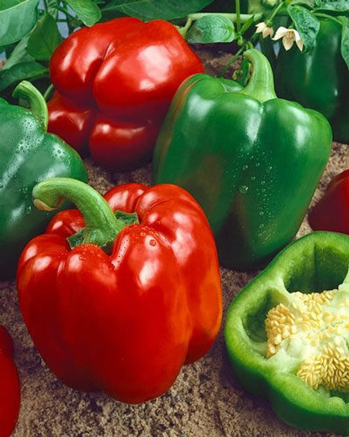 Yolo Wonder Sweet Pepper Image by CHILLIESontheWEB
