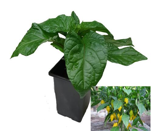 Habanero Limon 9cm Chilli Plant Image by CHILLIESontheWEB
