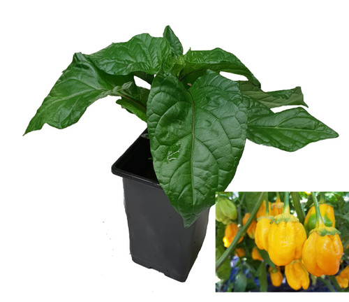 7 Pot Bubblegum Yellow Chilli Plant Image by CHILLIESontheWEB