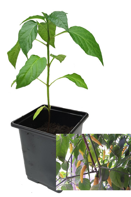 Aji Lemon 9cm Chilli Plants Image by CHILLIESontheWEB