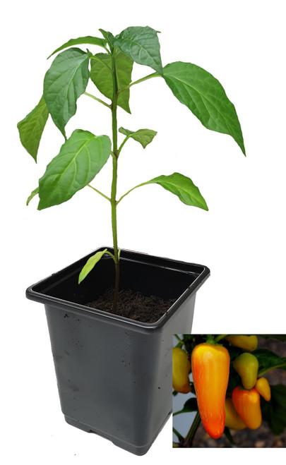 Numex Pinata 9cm Chilli Plant Image by CHILLIESontheWEB