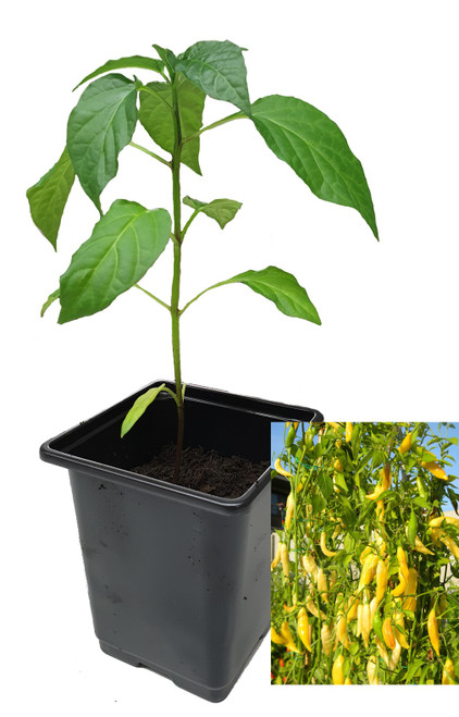 Aji Pineapple 9cm Chilli Plant Image by CHILLIESontheWEB