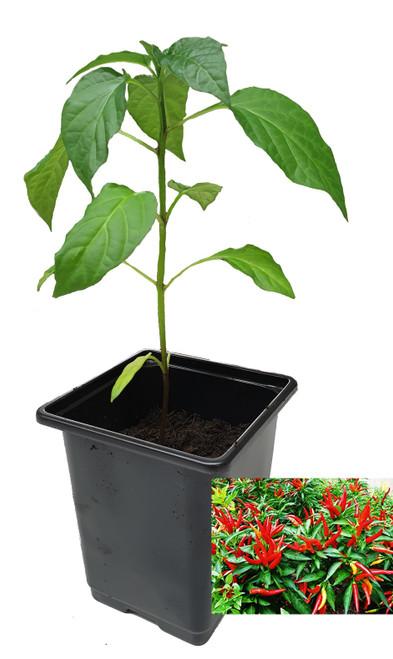 Piccante a Mazzetti 9cm Chilli Plant Image by CHILLIESontheWEB