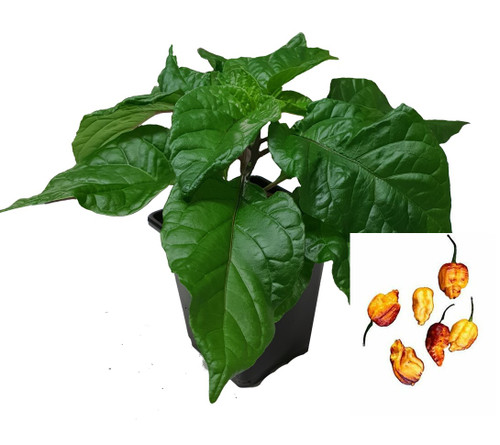 Pockmark Orange 9cm Chilli Plant Image by CHILLIESontheWEB