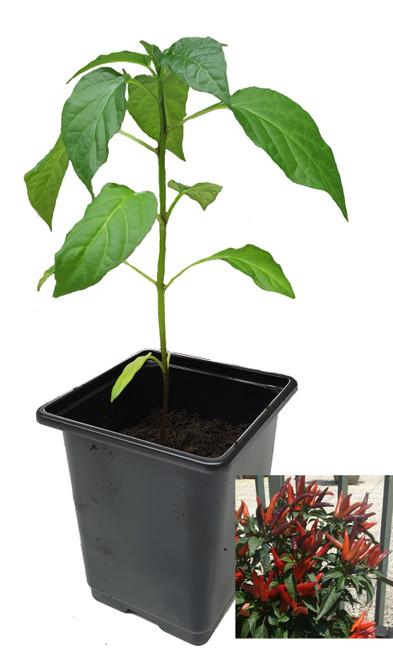 Lingua Di Fuoco Chilli 9cm Chilli Plant Image by CHILLIESontheWEB
