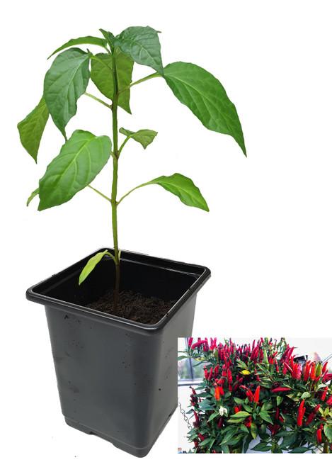 Birdseye Italico 9cm Chilli Plant Image by CHILLIESontheWEB