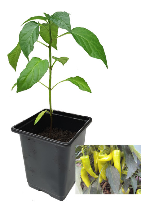 Banana Pepper 9cm Chilli Plant Image by CHILLIESontheWEB