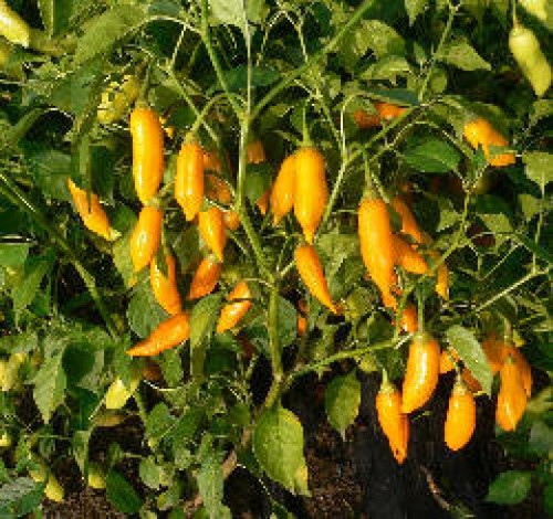 Aji Habanero Chilli Plant Image, Chillies on the Web
