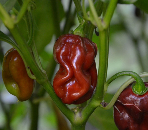 Black Cayman Chilli Plant Image, Chillies on the Web