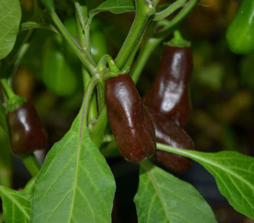Brown Rocoto Chilli Image, Chillies on the Web