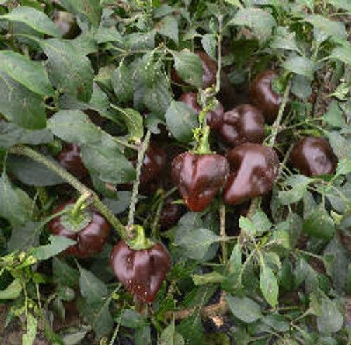 Chile de Onza Chilli Image, Chillies on the Web